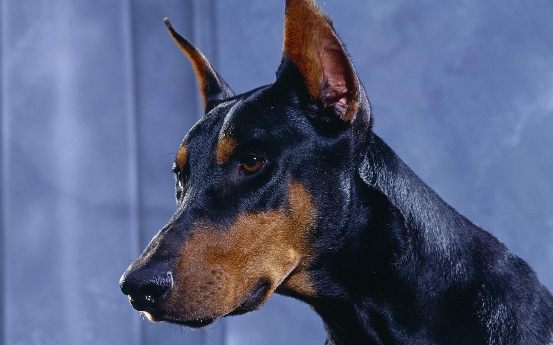 Những loài chó thông minh nhất thế giới | Chó